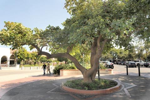 <b>ABLAZE:</b>  The flame tree at State and Gutierrez streets is an old, rare specimen.