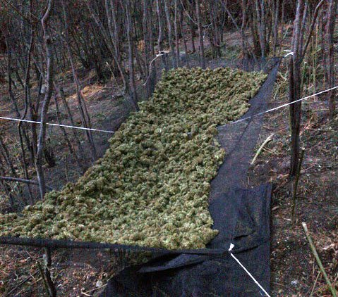 Recently-picked marijuana seized at the Happy Canyon grow site