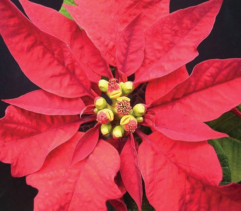 <b>XMAS FLORA:</b>  Poinsettias add a touch of color to the holidays.