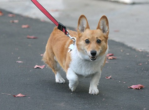 <b>MAKE WAY FOR DOG:</b>  Governor Jerry Brown's pup, Sutter, recently stopped by Santa Barbara.
