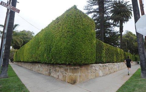 <b>Looming:</b>  Shrubbery walls the corner of Santa Barbara and Islay streets.