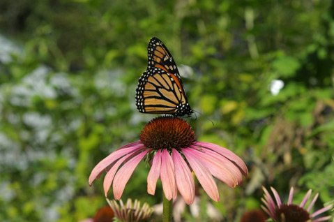 <b>BYE-BYE, BUTTERFLY:</b>  Is this year's dry weather to blame for the low number of monarchs in the Ellwood groves?