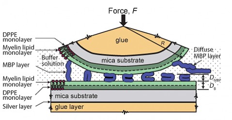 Diagram of the experiment to test the adhesion of myelin bilayers.