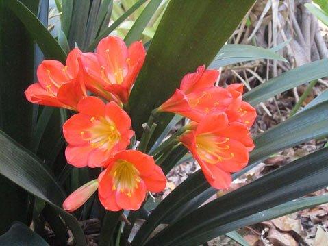 <em>Clivia miniata</em>