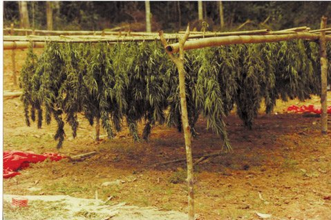 <b>HUNG OUT TO DRY:</b> Thai marijuana plants cure in the sun before being packaged for shipment.