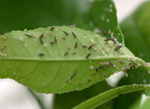Adult Asian citrus psyllids