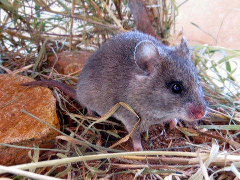 Rodents, like this Mearns' pouched mouse, doubled in number in an experiment that excluded large animals from an area. The rodents brought disease-carrying fleas with them.