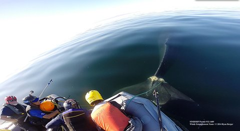 Rescuers work to save a humpback whale tangled in a crab pot line