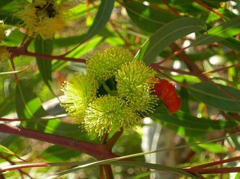 <em>Eucalyptus erythrocorys</em>
