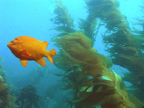 A Garibaldi swims in one of Santa Barbara's Marine Protected Areas.