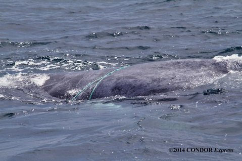 Humpback whale hog-tied by prawn trap ropes was freed June 6 north of Santa Cruz Island.