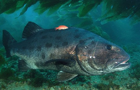 UCSB researchers are asking recreational divers and snorklers in southern California to count giant sea bass (pictured) during the first seven days of August.