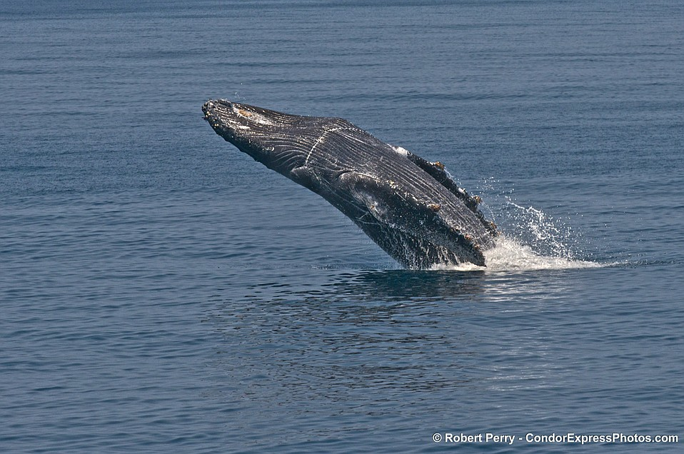 Rescued humpback whale Lucky breaches in the Santa Barbara Channel