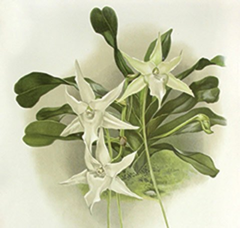 <b>ORCHIDACIOUS:</b>  Frederick Sander's monthly publication Reichenbachia is the source for this illustration of Aeranthus sequipedalis.