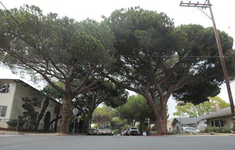 Historic stone pine trees line East Anapamu Street.