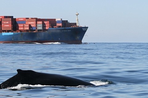 Ships traveling at lower speeds through Santa Barbara channel would have less impact on whales.