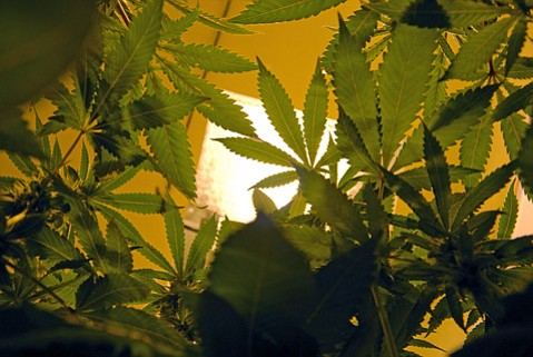 <b>TOP CROP:</b>  The U.S. Department of Justice has ruled that tribes—including the Chumash—may grow and sell marijuana, as long as they follow the same rules established for states.