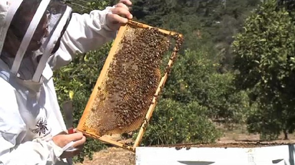 Imidacloprid, which contains a poison fatal to bees, was found throughout the city after recent rains.