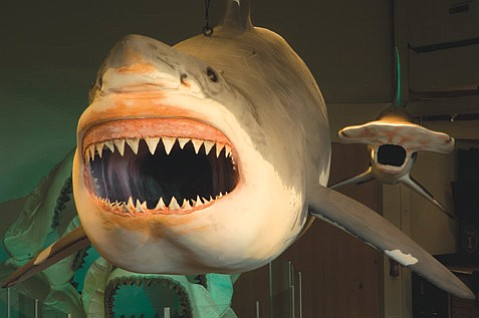 Monster Shark Eats Mission Canyon