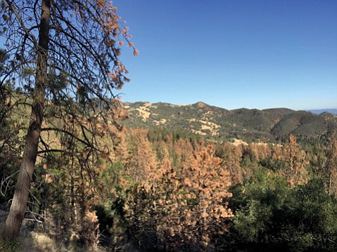 <b>FULLY BAKED:</b>  Dead trees blanket the north side of Figueroa Mountain.