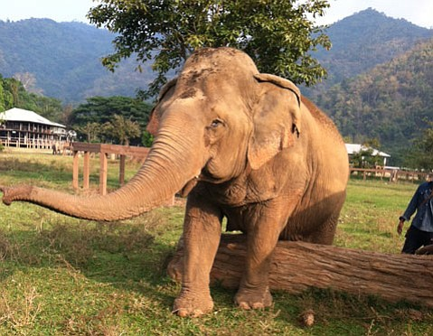 <strong>RESCUED:</strong>  The Elephant Nature Park in Thailand rehabilitates the big animals suffering abuse from logging and tourism industries.