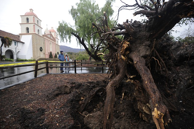 A historic tree at the Santa Barbara Mission that was uprooting during recent storms. (Jan. 6, 2016)