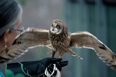 <strong>WINGED RECOVERY:</strong>  The Ojai Raptor Center's Kim Stroud holds a Short-eared owl.