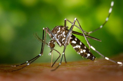 An Asian tiger mosquito.