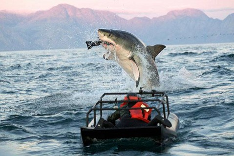 The documentary <em>Air Jaws</em> is among the vids at the Shark Research Committee fundraiser September 24 at the Maritime Museum.