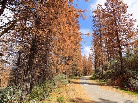 <b>BROWN AND BRITTLE:</b>  A shocking 62 million trees died this year across the state.