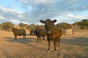 Black Angus cattle belonging to Alisos Canyon rancher James Fraioli.