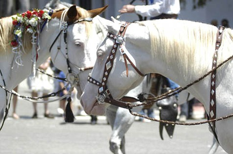A Morgan, Arabian, and Spanish crossbreed, the Camarillo White Horses have been part of the Fiesta Equestrian Parade since 1929.