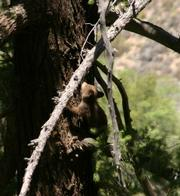 A bear cub in Rancho Nuevo Canyon, an area effected by the Zaca Fire.