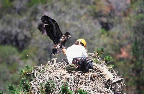 Jim Spickler lunges for the eaglet in its nest.