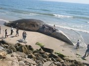 Passersby gather to see the carcass of a 100,000-pound blue whale, which was found dead in the Santa Barbara Channel in 2007 after being struck by a ship and then floated east to Ventura's Hobson Beach.