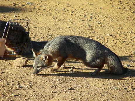 Island fox sniffs the land after emerging from cage.