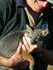 Dave Garcelon of the Institute for Wildlife Studies holds an island fox before release.