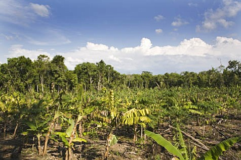 This active forest garden contains hardwoods, corn, banana, papaya, mango, allspice, and squash, all growing together in layers where the tall shade the small.