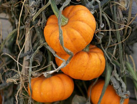 It's that time of year again:  The pumpkins are ripe for the picking, the carving, and the pie-filling.