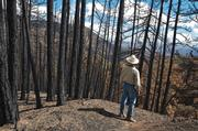 Otis Calef surveys the damage done to the pine forests near Alamar Saddle. The pines have been almost completely destroyed in this area.  Far right: The charred trunk of an 80-foot tall Coulter pine and its partially scorched crown on Little Pine Mountain.