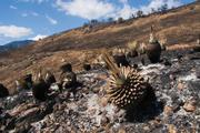 Groups of burnt yuccas appear like dried pineapple plants.