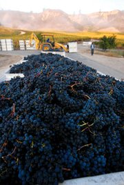 Star Lane grapes from the 2007 harvest.