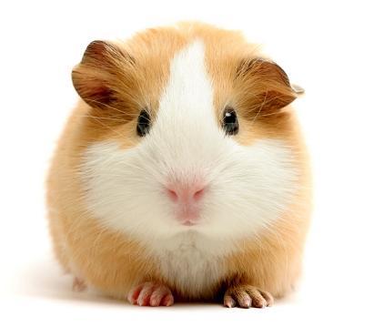 guinea_pig.JPG