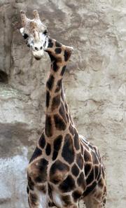 Gemina, the crooked neck giraffe