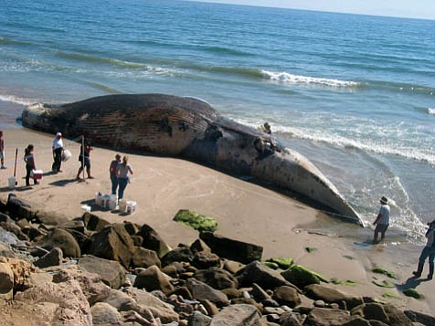 After a record number of Blue Whales-like the one pictured washed ashore near the Ventura County line-died in the waters off the northern Channel Islands last fall, the Marine Sanctuary is researching how to prevent a similar die-off when the whales return this summer.