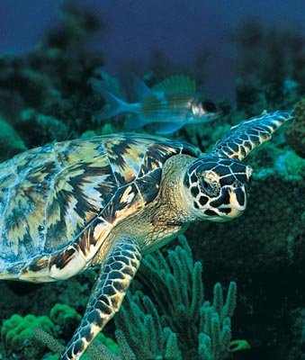 A green sea turtle forages for food on a tropical reef.