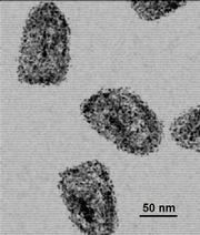 A photograph of the rabies virus.