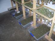 Processed marijuana being prepared for sale.
