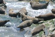 Cailfornia harbor seals