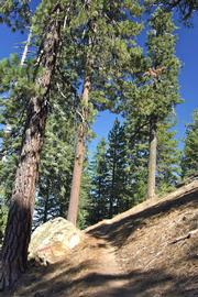 Large Ponderosa and Jeffrey pines make the Reyes Peak Trail a delight to hike.